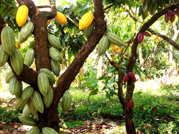 шоколад растет на деревьях