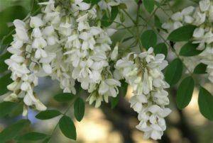цветы - акация