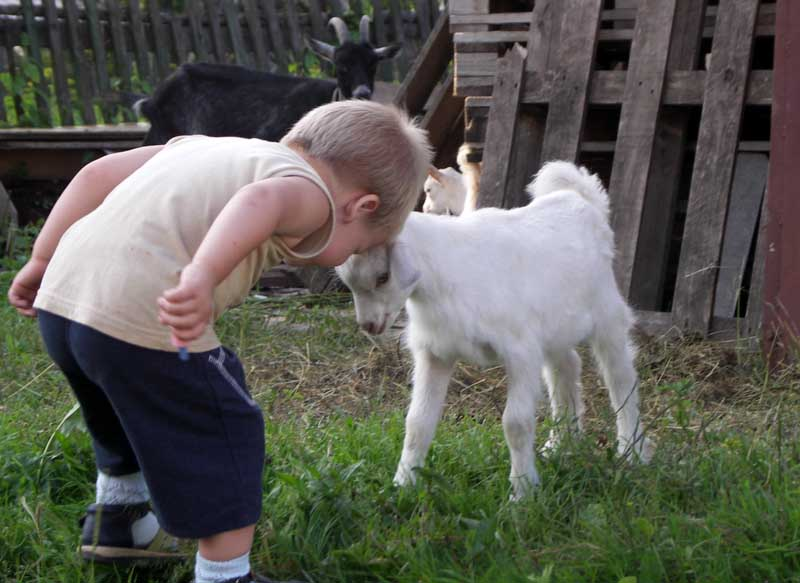 коза бодачая
